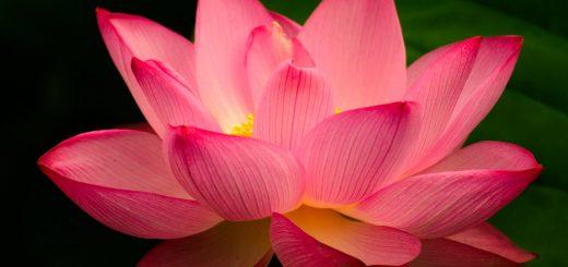 לוטוס פרח